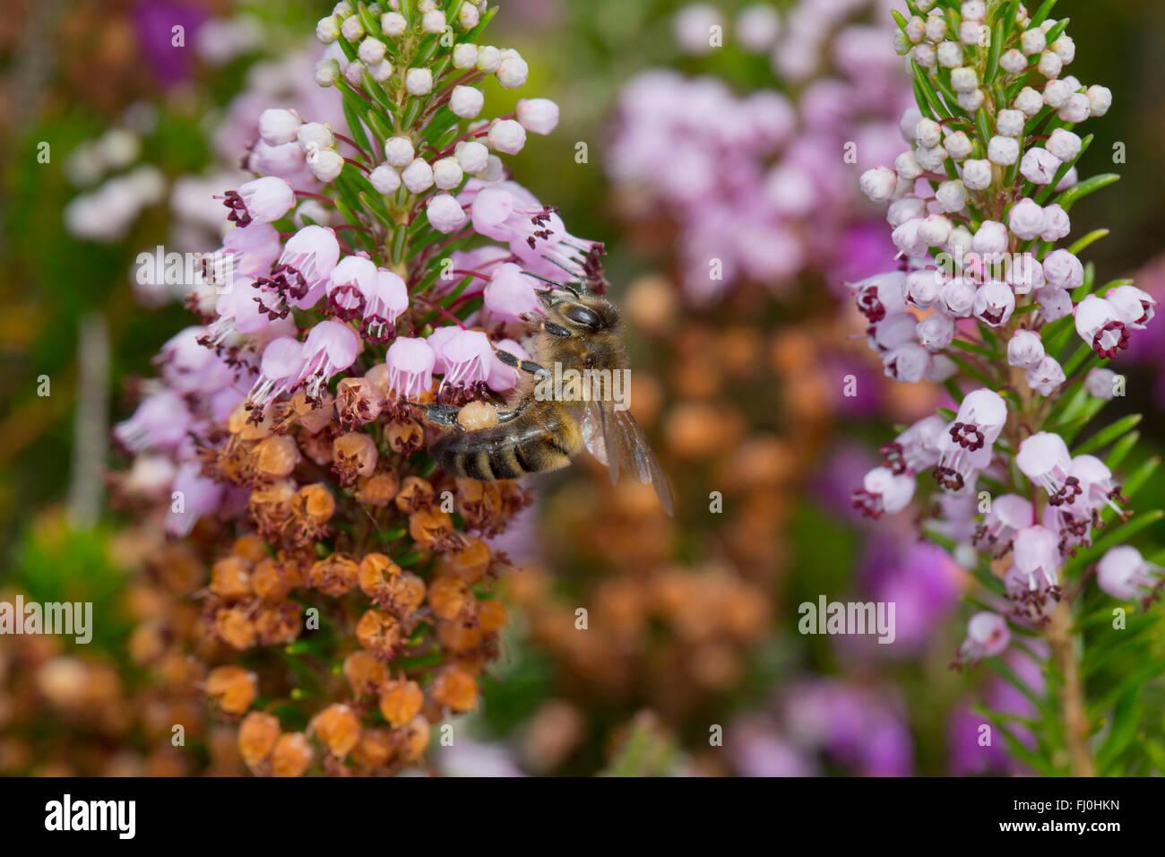 Cornish Heath; Erica vagans Honey Bee on Flower Cornwall; UK - Stock Image
