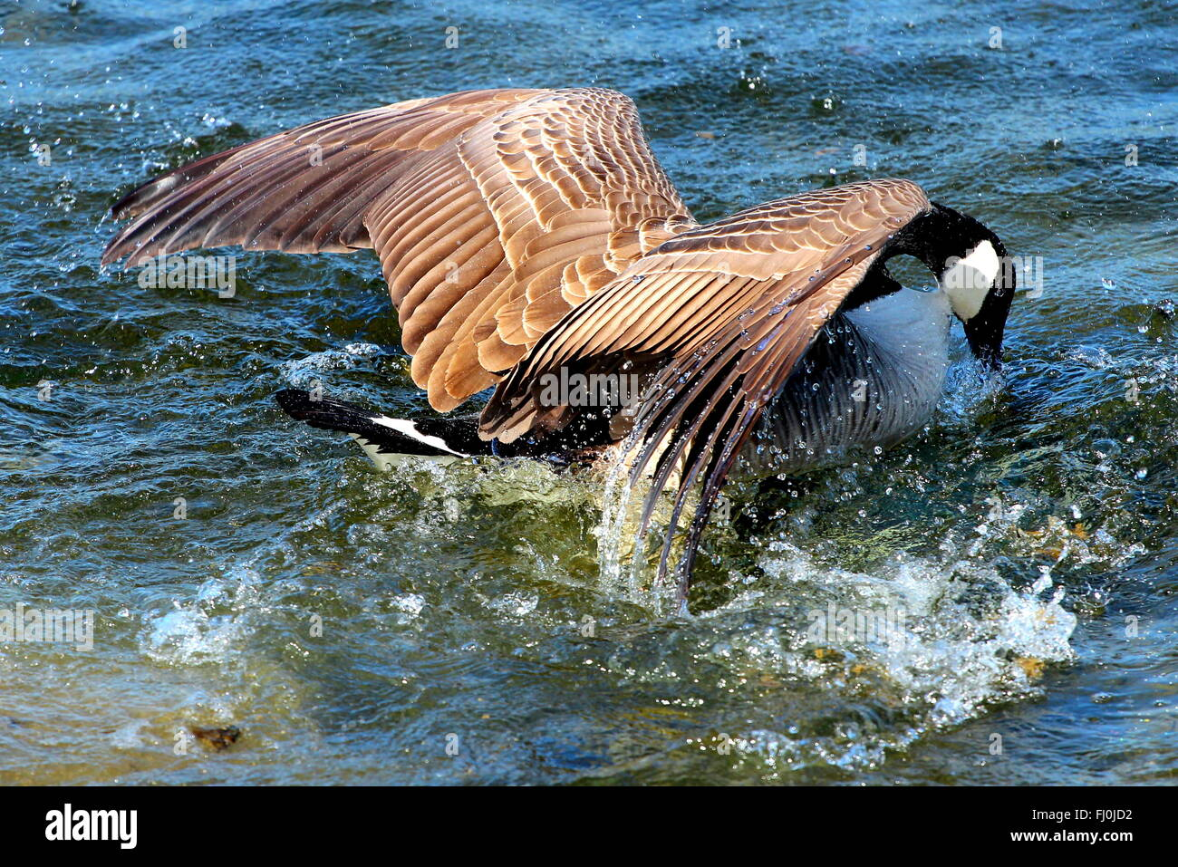 A Canada goose landing on the water. - Stock Image