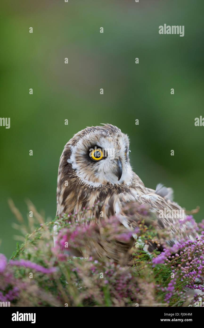 Short Eared Owl; Asio flammeus Wales; UK - Stock Image
