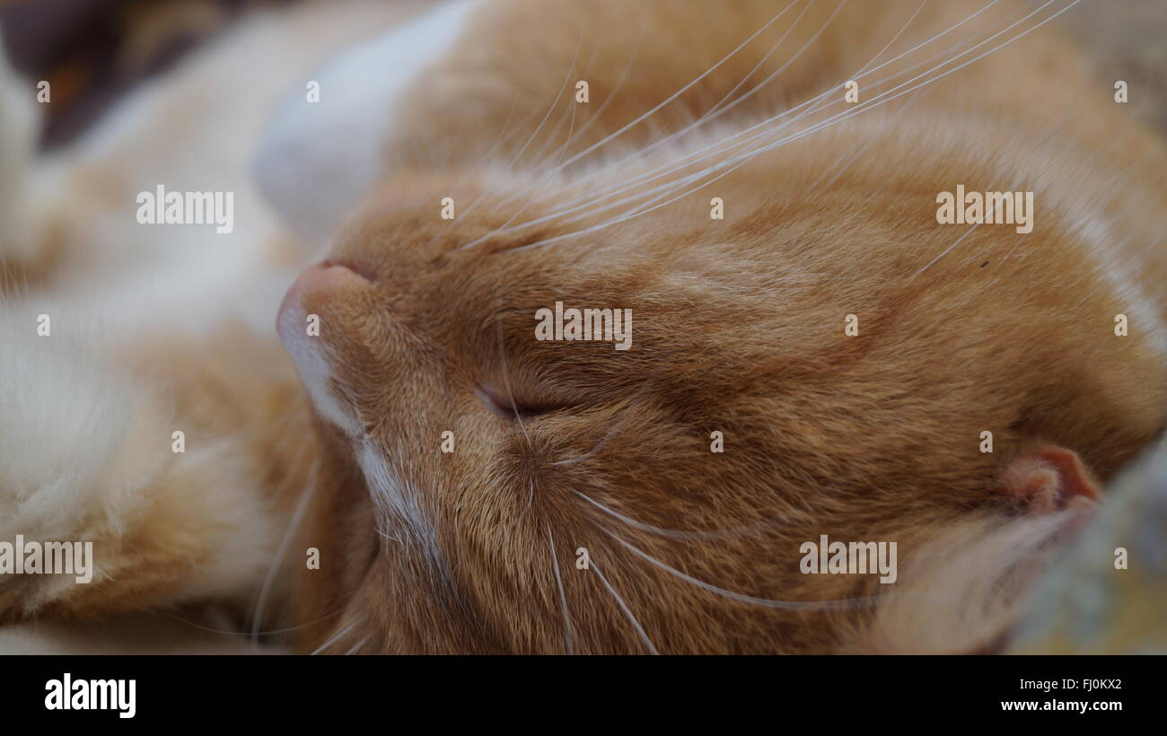 Portrait of cat asleep on chair, focus on face and whiskers - Stock Image