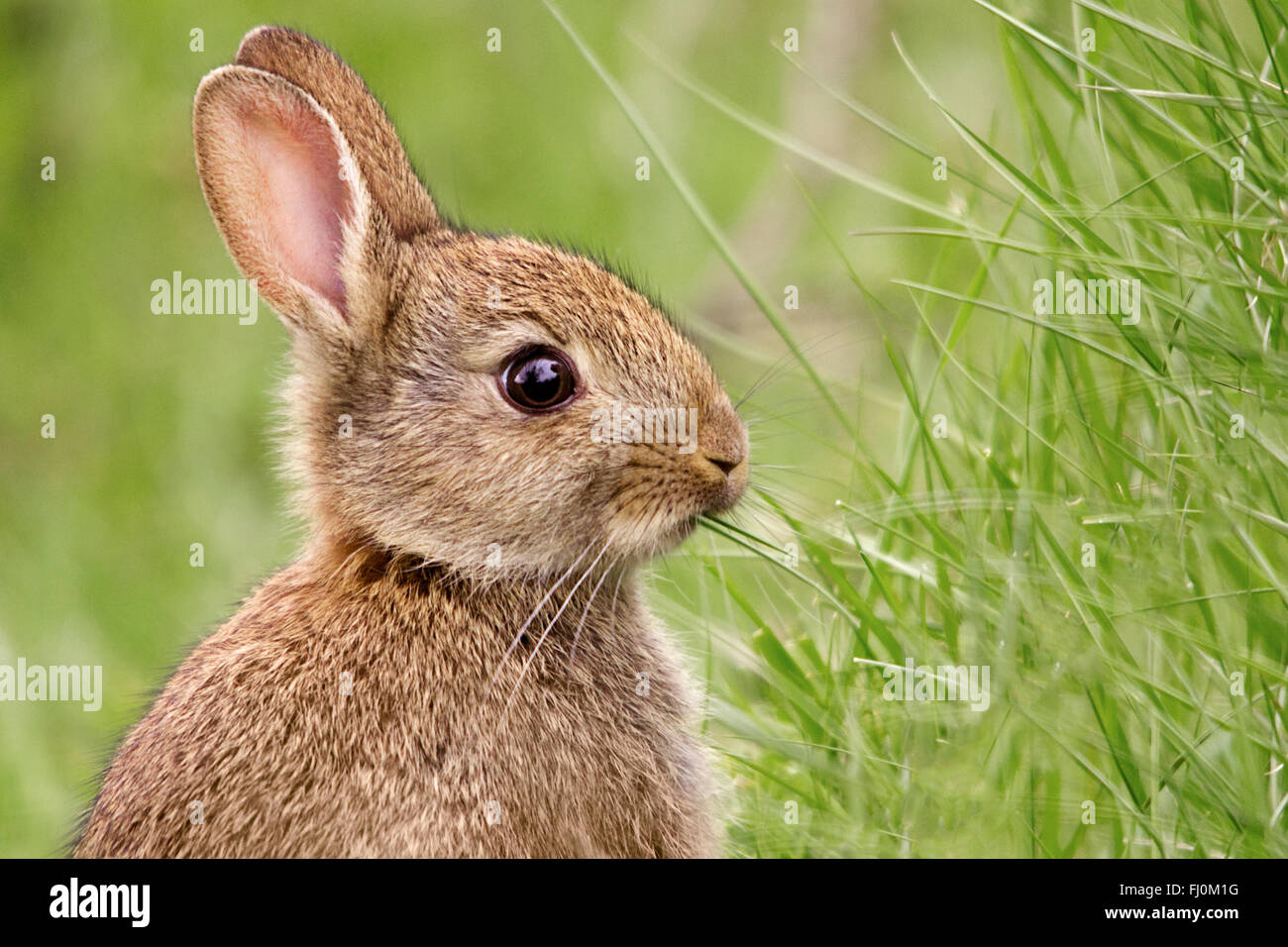 Rabbit (oryctolagus cunniculus). Head and shoulders portrait in landscape format. Bright eye, eating grass head - Stock Image