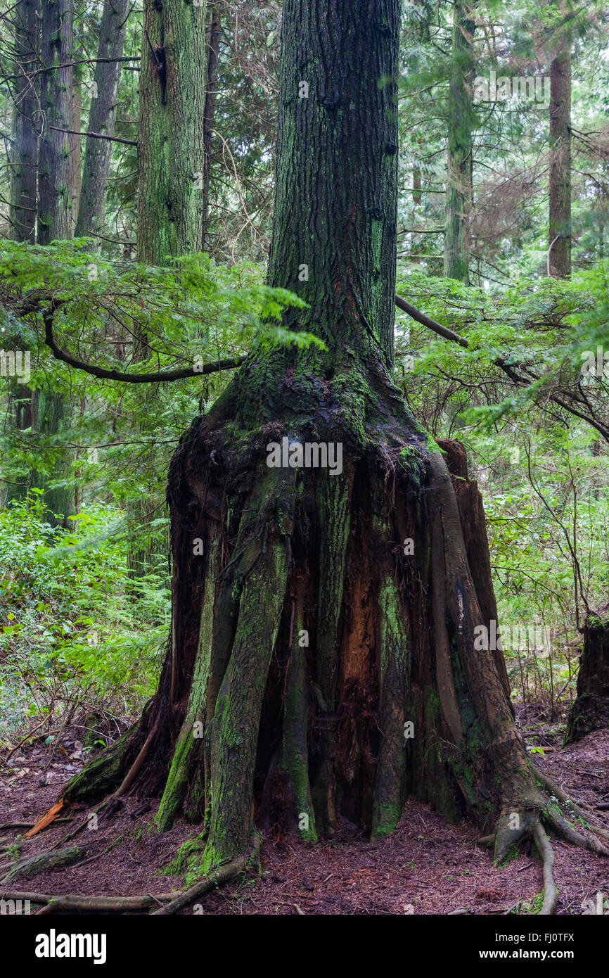 New growth supported by the remnants of a decomposing tree stump - Stock Image