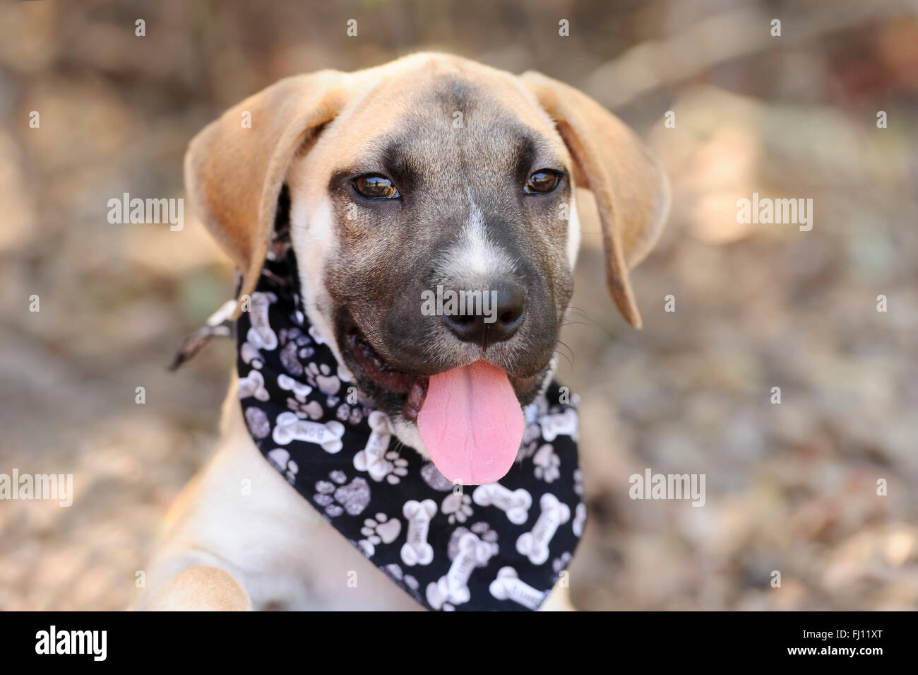 Happy dog is a white happy looking dog with cute floppy ears and his adorable pink tongue and glowing brown eyes - Stock Image