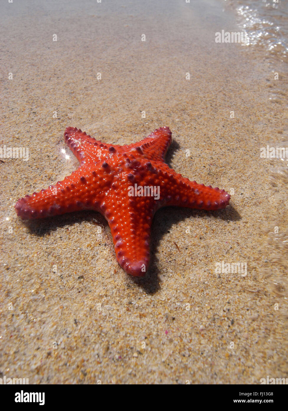 Unusual Starfish Pentaceraster Sp On Beach Pig Trough Bay