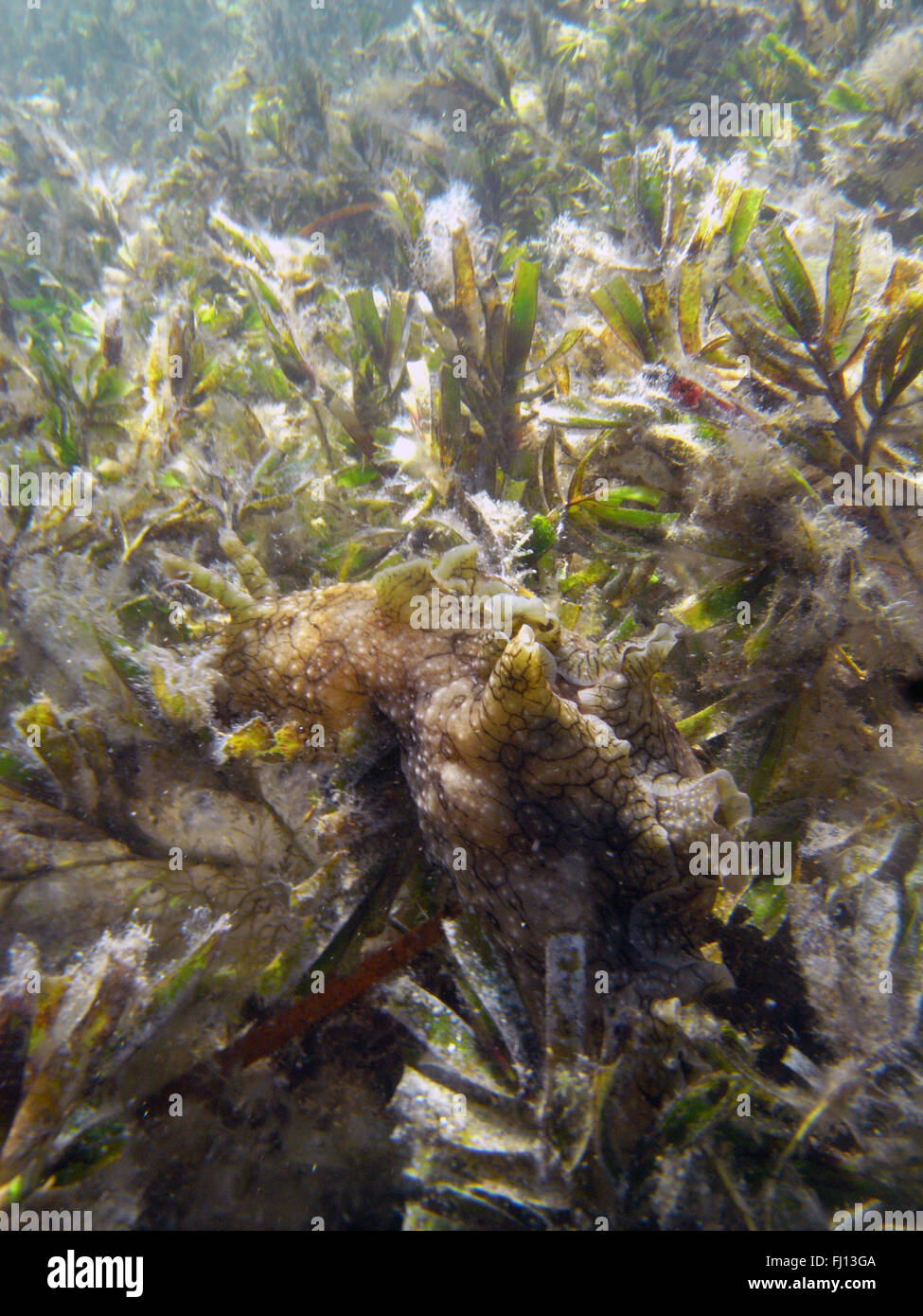 Large sea hare (Aplysia dactylomela) extremely well-camouflaged on seagrass meadow (Amphibolus sp.), Rottnest Island, - Stock Image