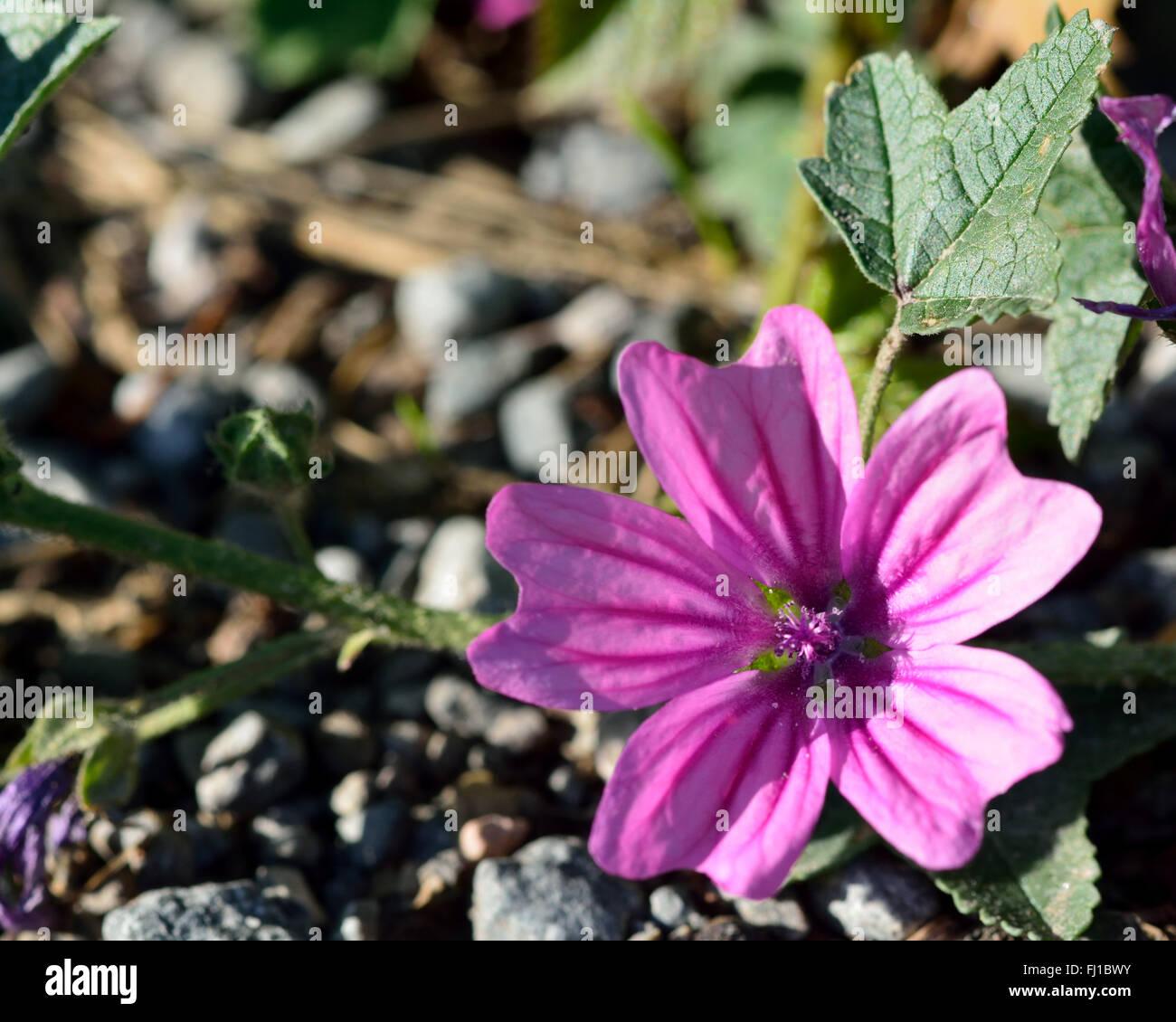 Common mallow malva sylvestris a pink flower of a plant in the common mallow malva sylvestris a pink flower of a plant in the family malvaceae mightylinksfo