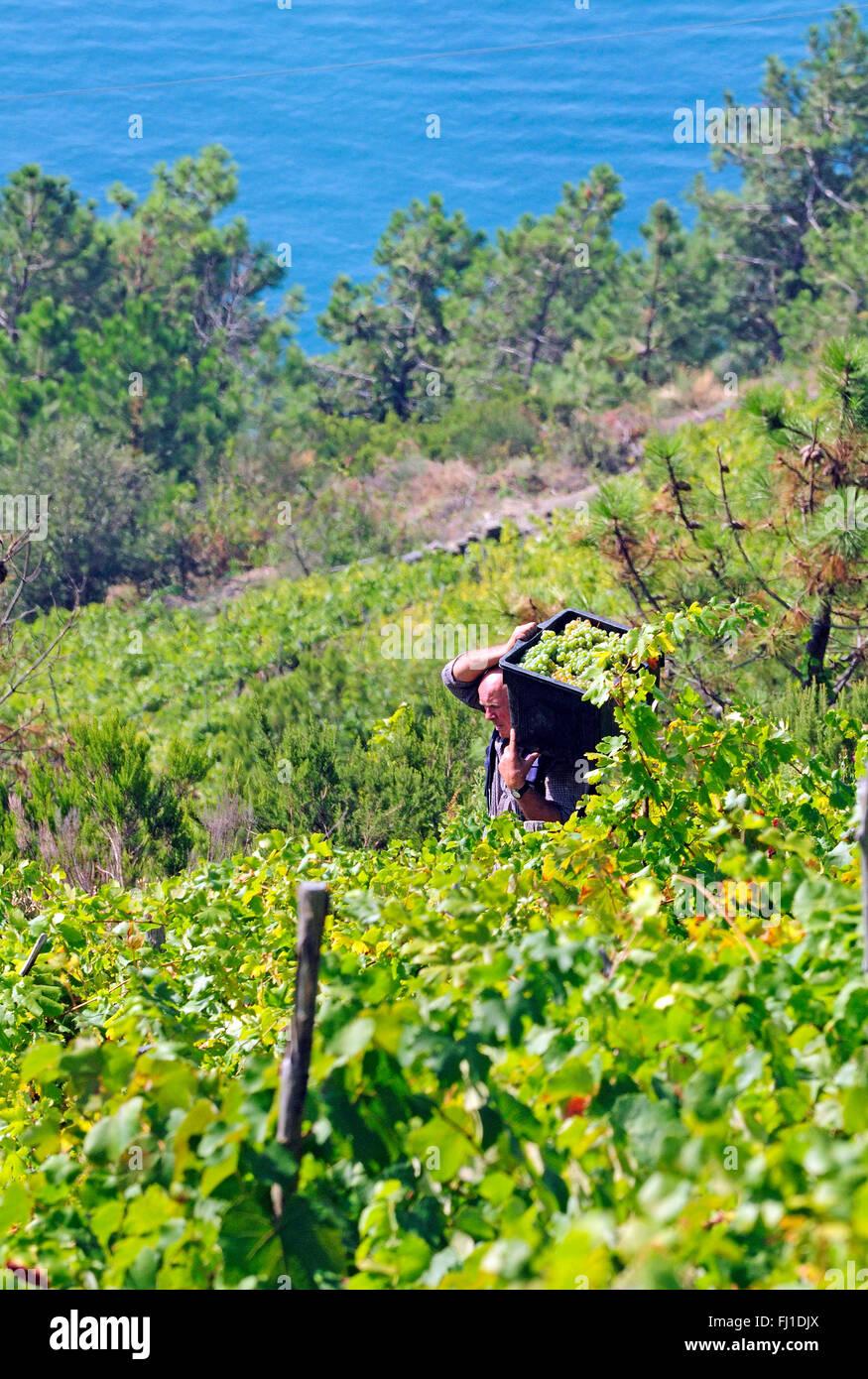 A vineyard overlooks the coast on the cliffs of the Mediterranean along the Italian Riviera, Corniglia - Stock Image