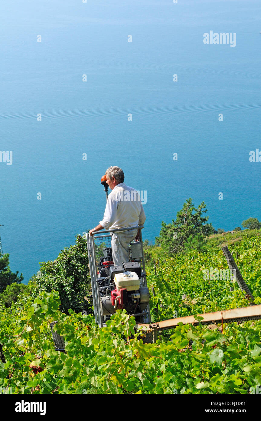 a view on the monorail during the grape harvest  in  the Sciacchetrà vineyard, Corniglia, Cinque Terre, Italy - Stock Image