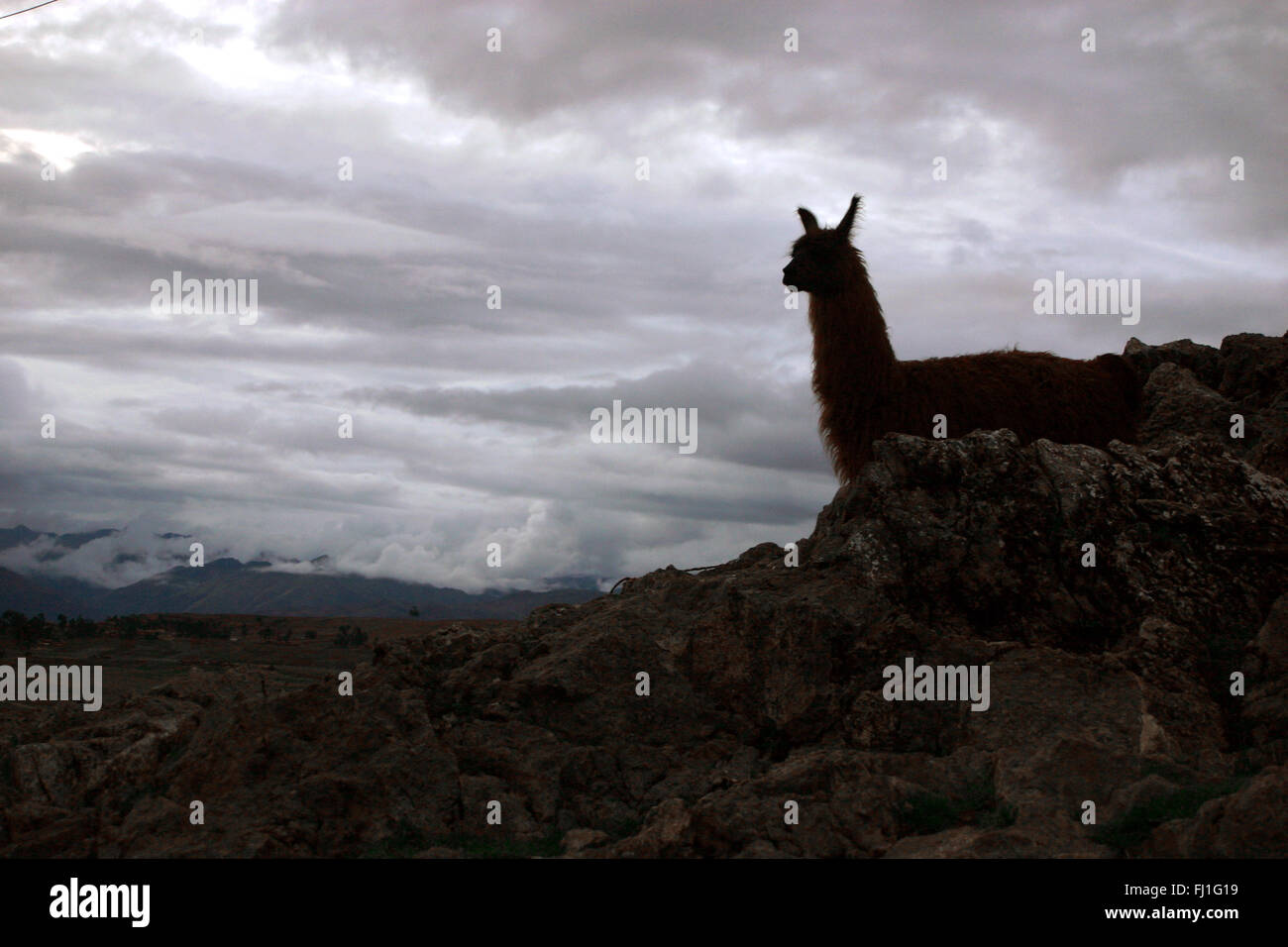 Shadow of a lama at the end of day in the Altiplano - iconic image - Stock Image