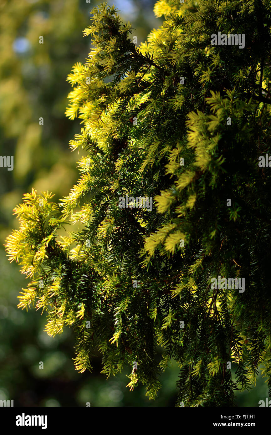 Yew (Taxus baccata) with new growth. New growth is apparent on a coniferous tree in the family Taxaceae, showing Stock Photo