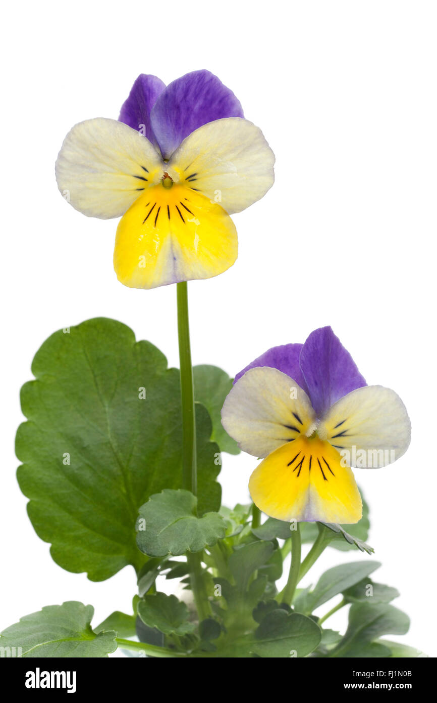 Fresh Viola cornuta flower on white background Stock Photo