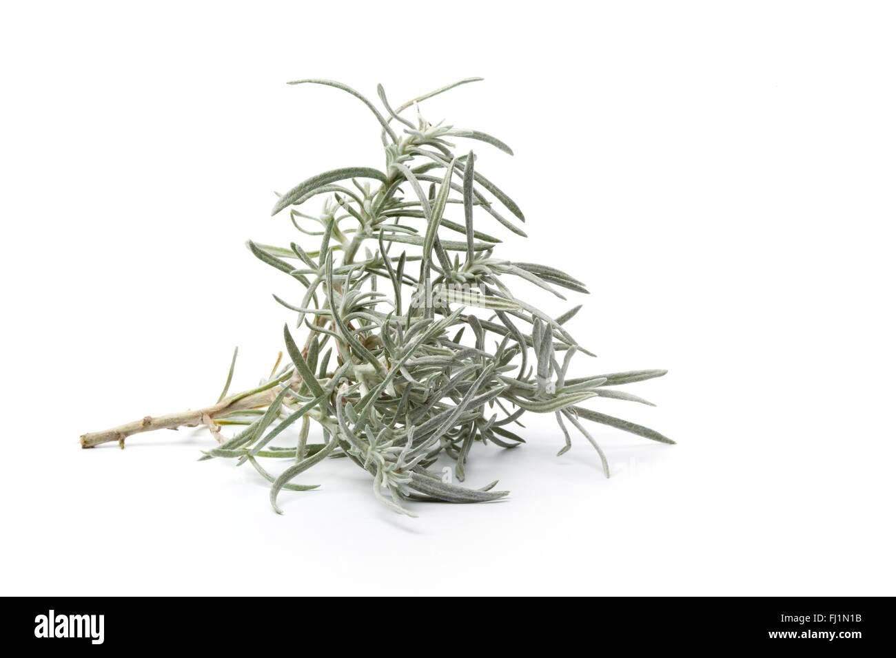 Twig of young Helichrysum italicum on white background - Stock Image