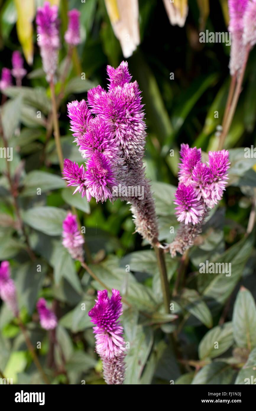 Purple Celosia Argentea Stock Photo