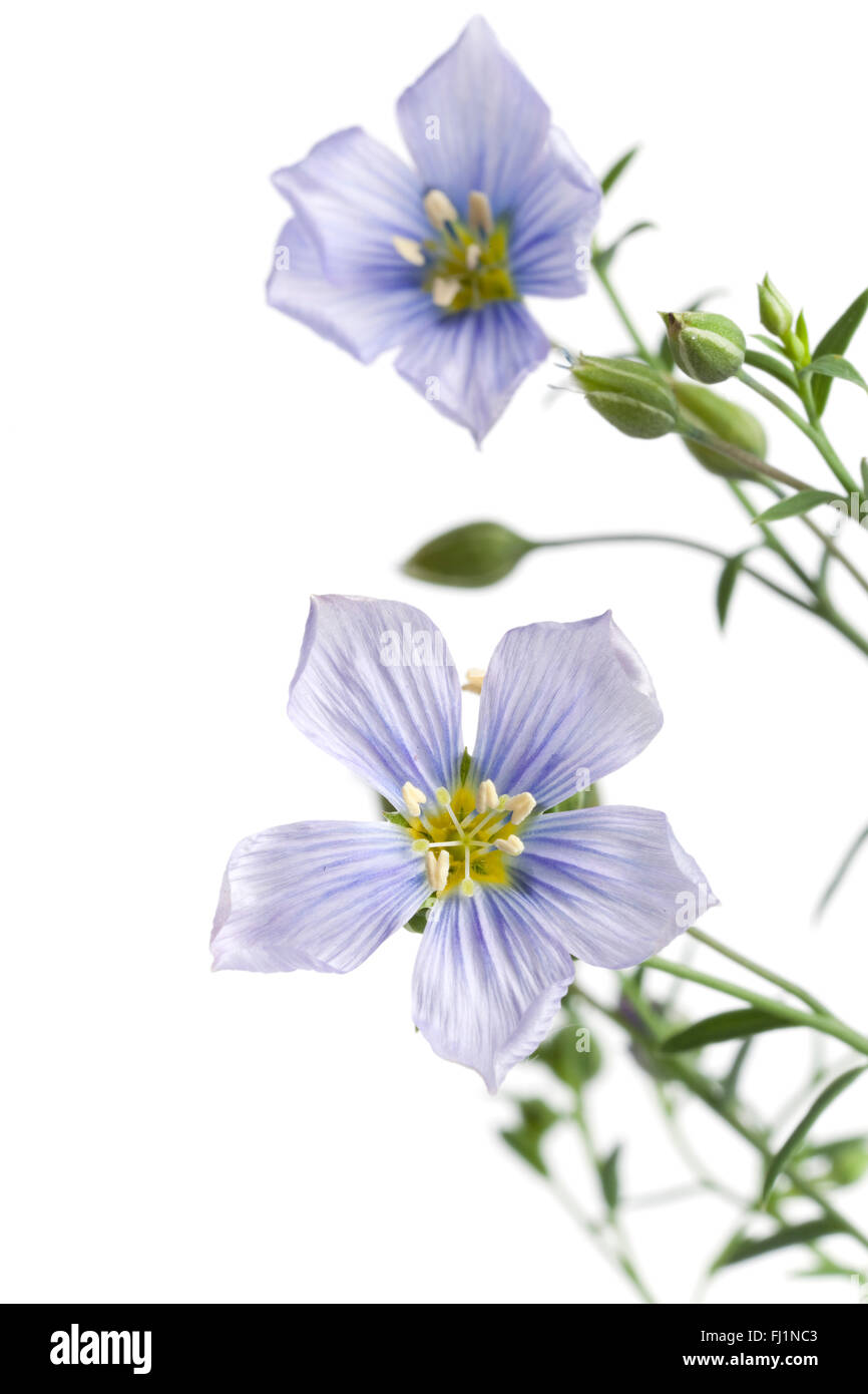 Fresh blue flowering flax with buds on white background - Stock Image