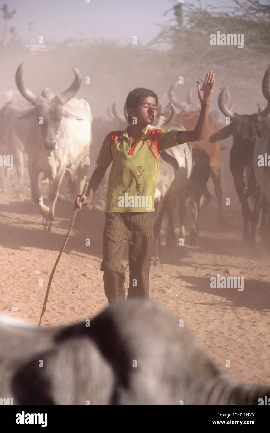 Young shepherd leading herd of cows bulls in Kutch, Gujarat, India - Stock Image
