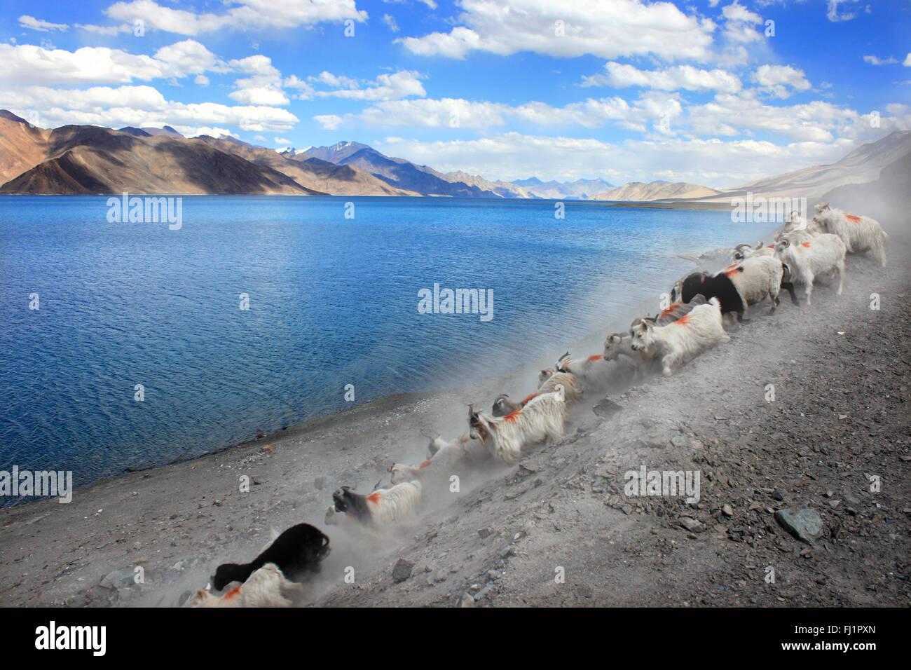 Goats at Pangong tso , landscape of Himalaya , Ladakh , India - Stock Image