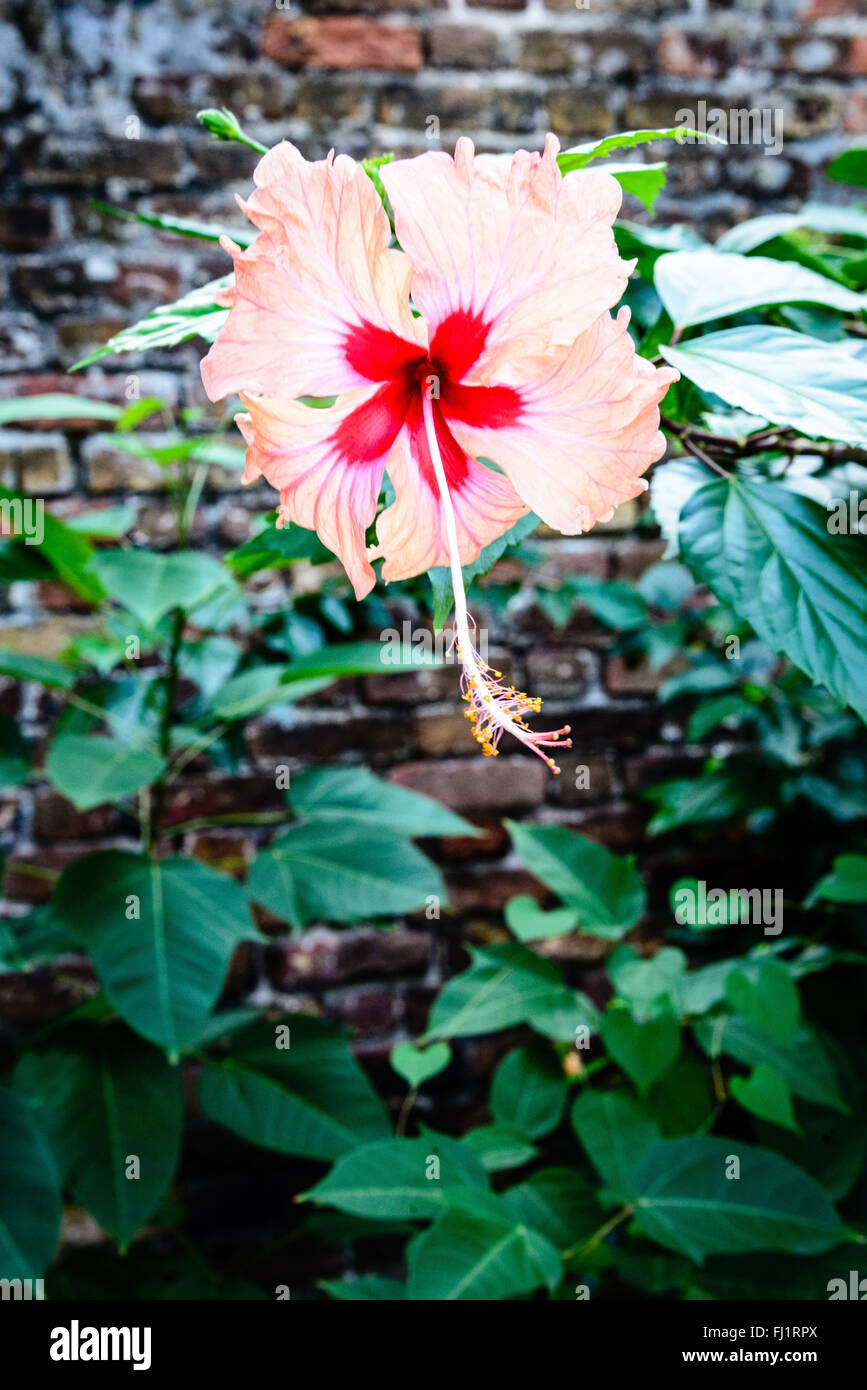 Cream And Red Hibiscus Flower Admirals Inn Garden Nelsons Stock