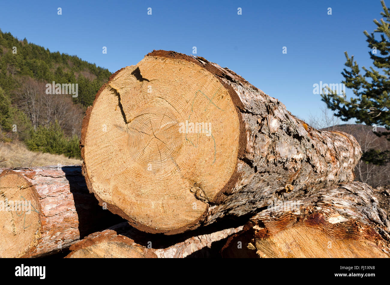 Coniferous material in a stack and beautiful blue sky - Stock Image