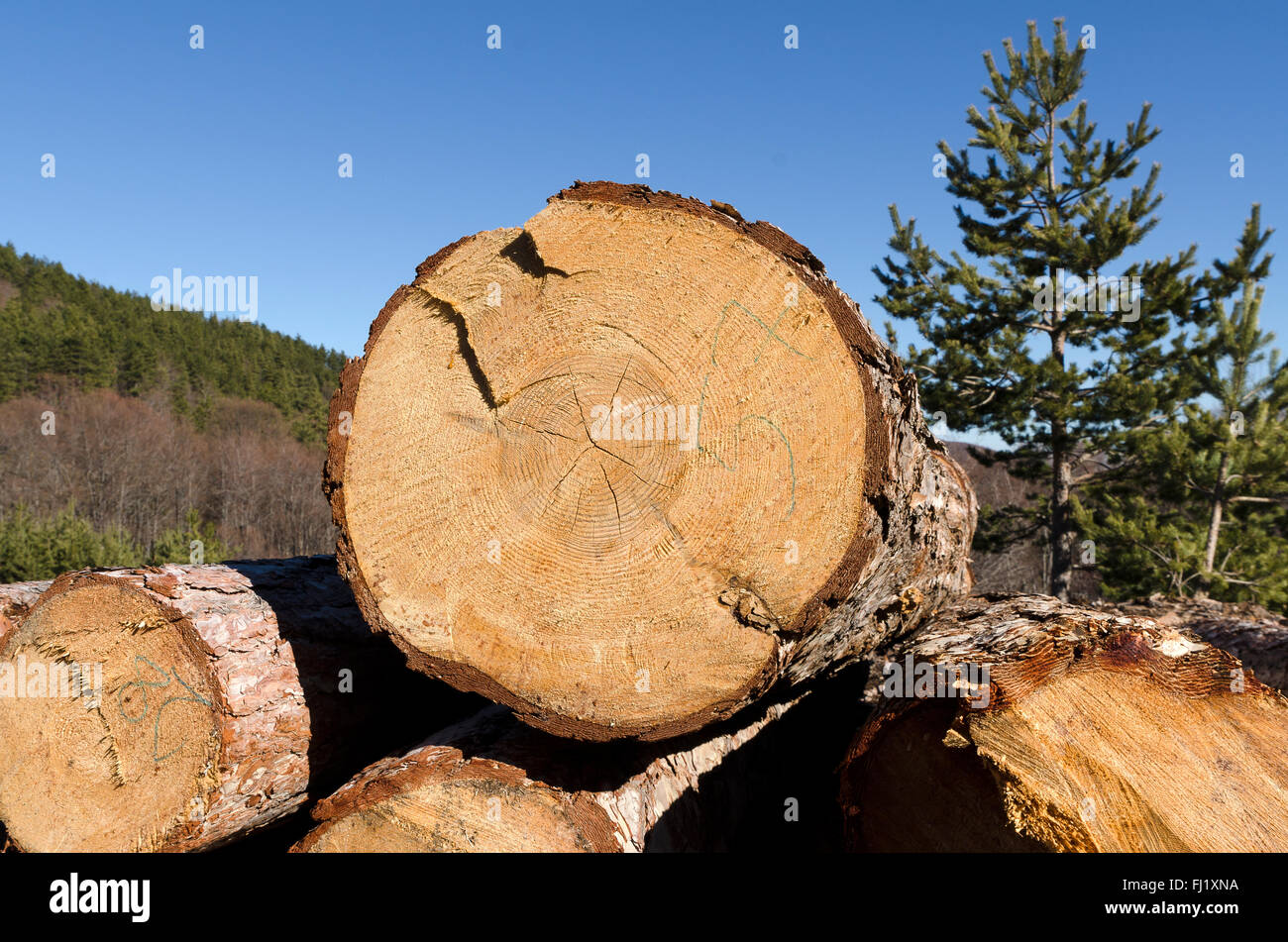 Coniferous timber in the Rhodope Mountain - Stock Image