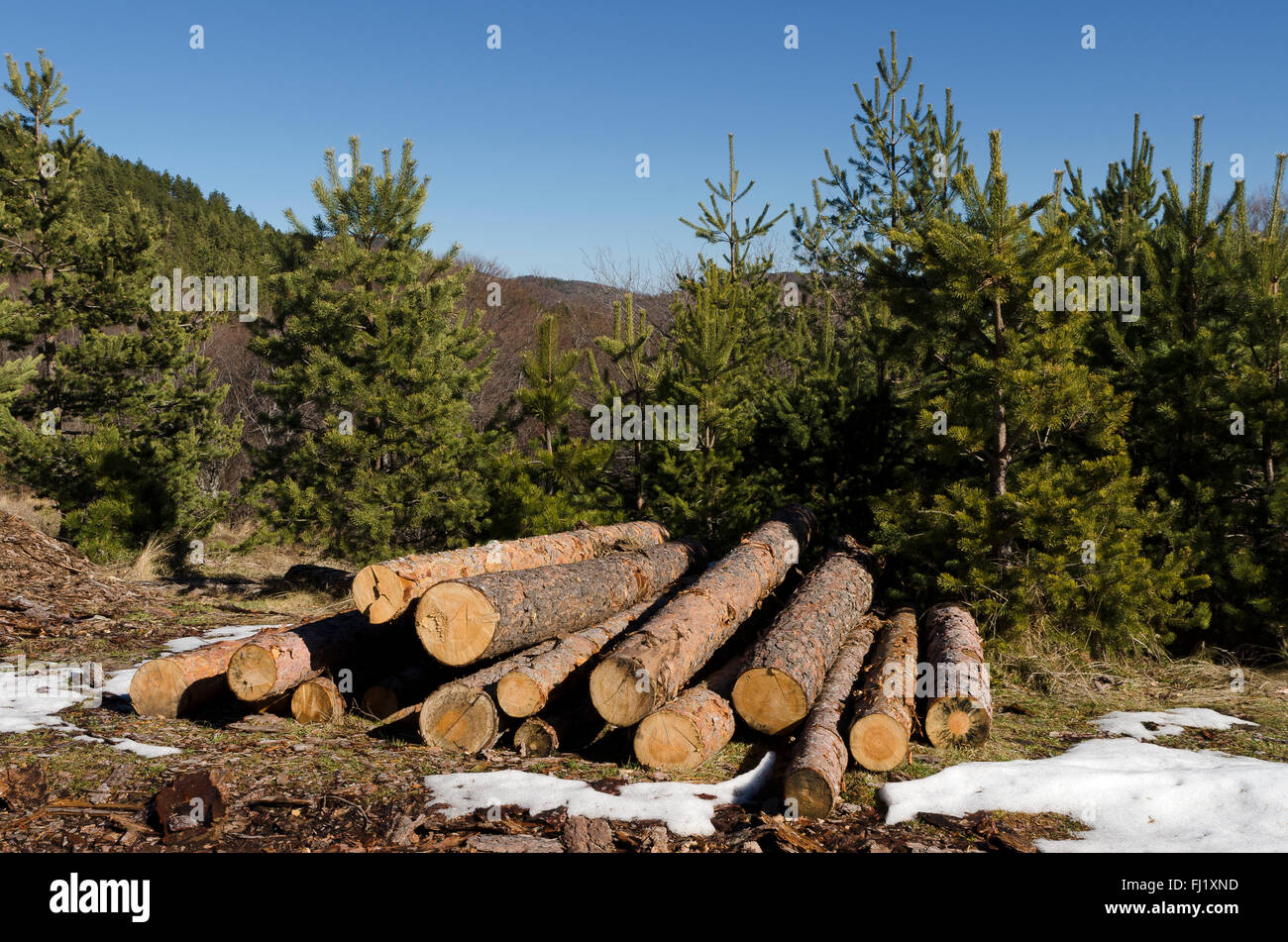 Coniferous timber in a mountain during the winter - Stock Image