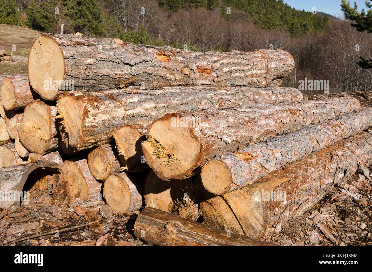 Dry trees and stack of coniferous timber in a mountain - Stock Image