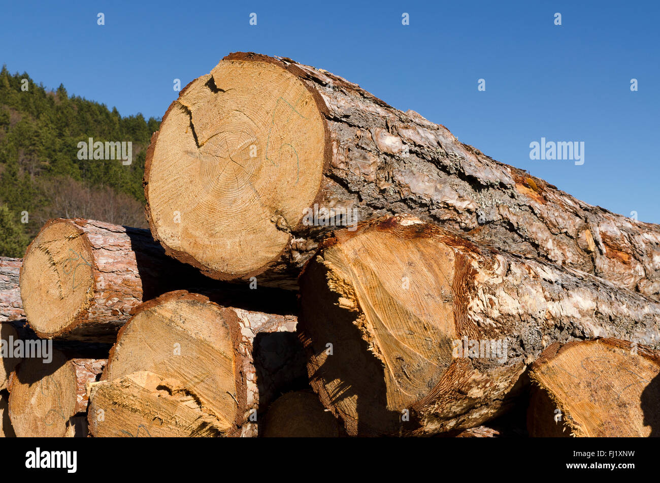 Stack of coniferous timber in the Rhodope Mountain - Stock Image