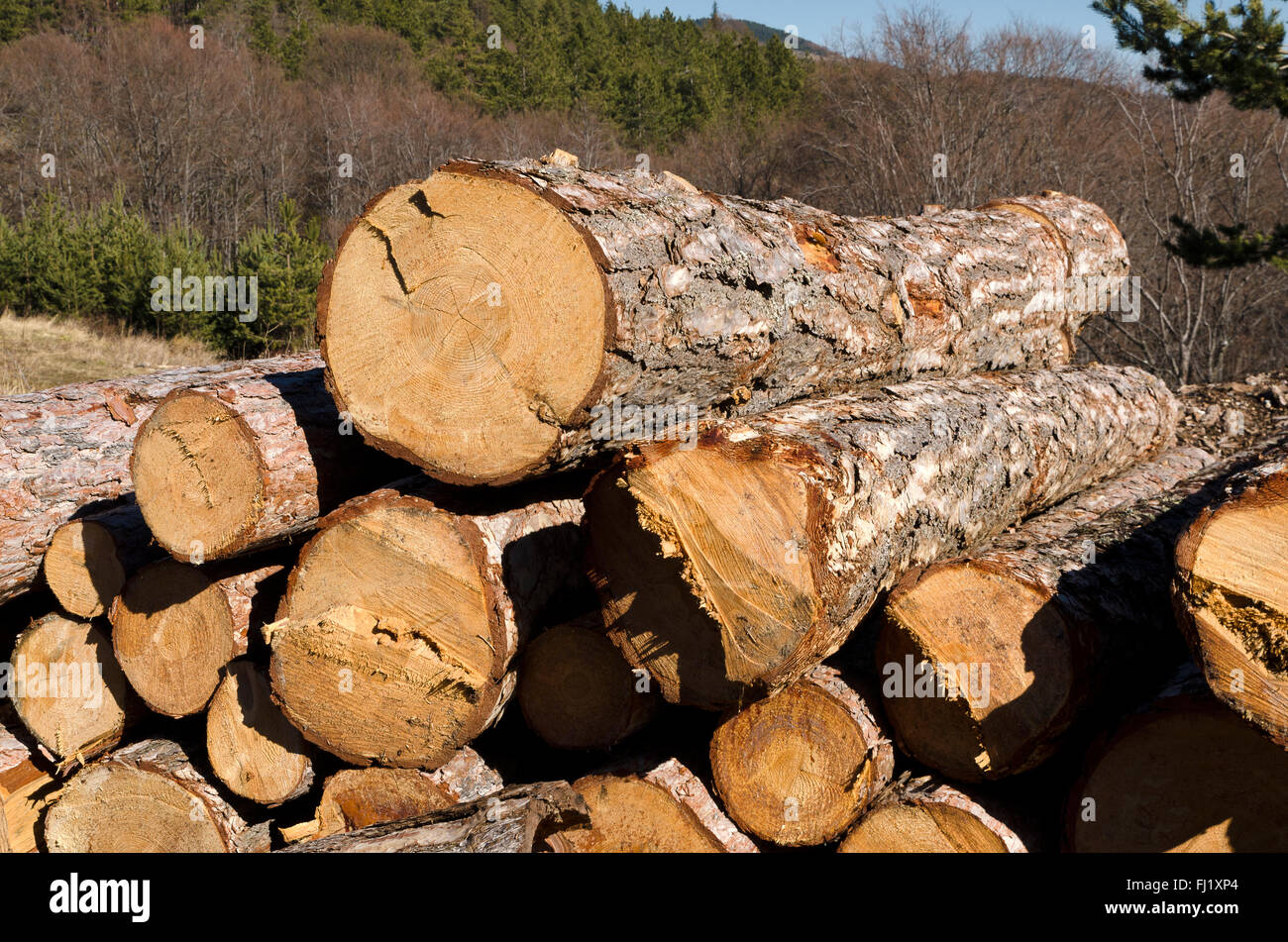Timber of coniferous without marks in the Rhodope Mountain - Stock Image