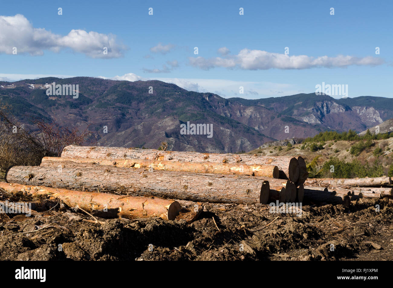 Timber of coniferous in a hill - Stock Image