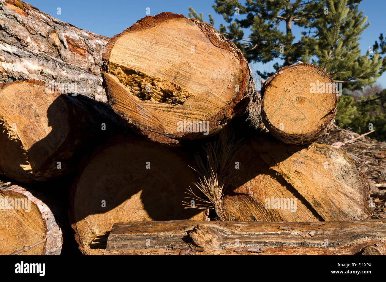 Timber of coniferous in a mountain in Bulgaria - Stock Image