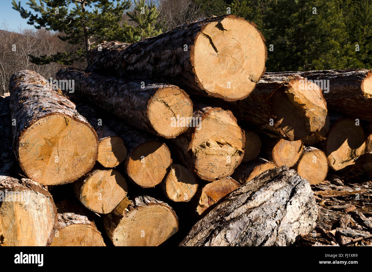 Timber stack of coniferous in Rhodope Mountain - Stock Image