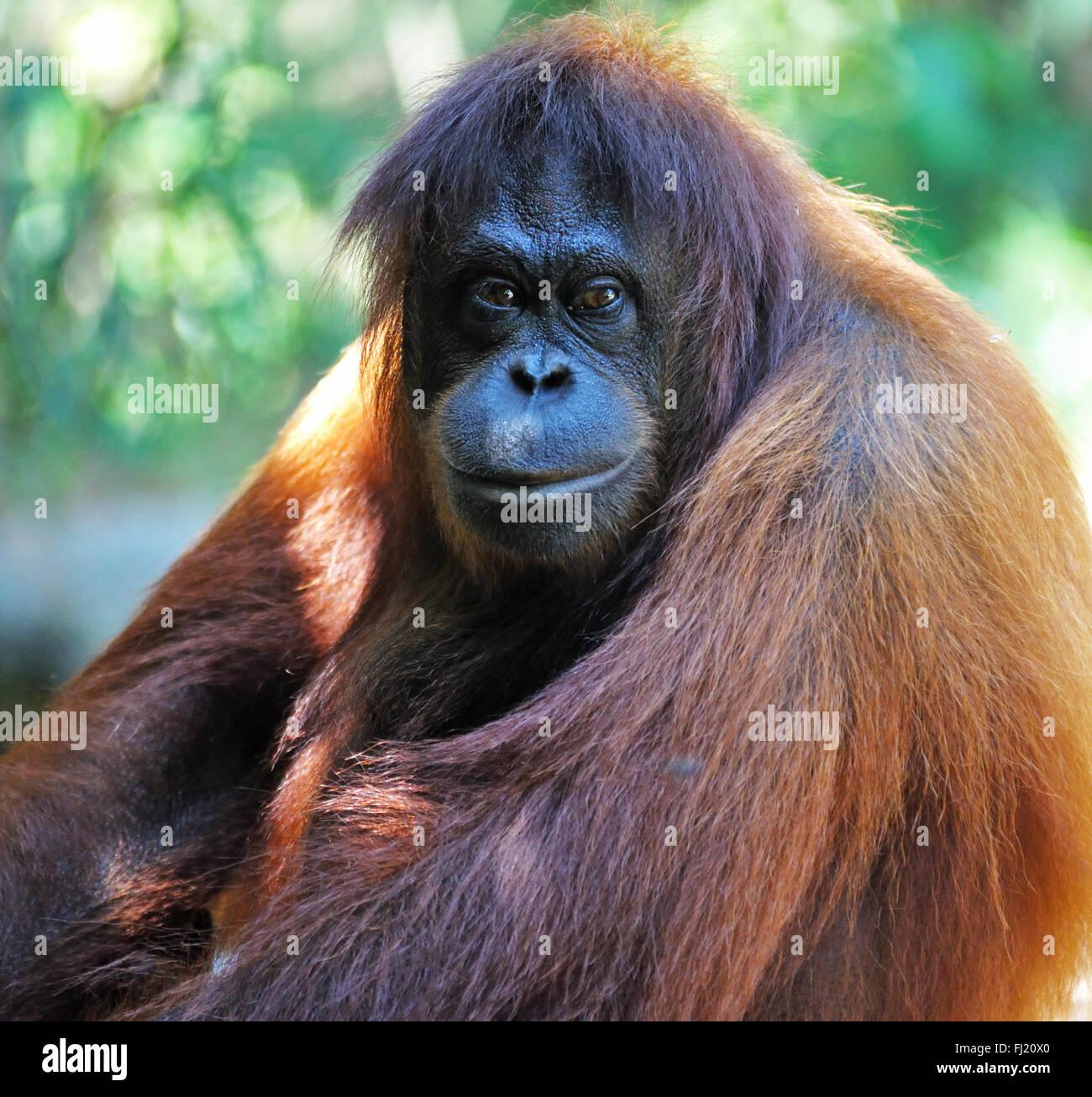 Orangutan in Sabah Borneo, Malaysia. - Stock Image