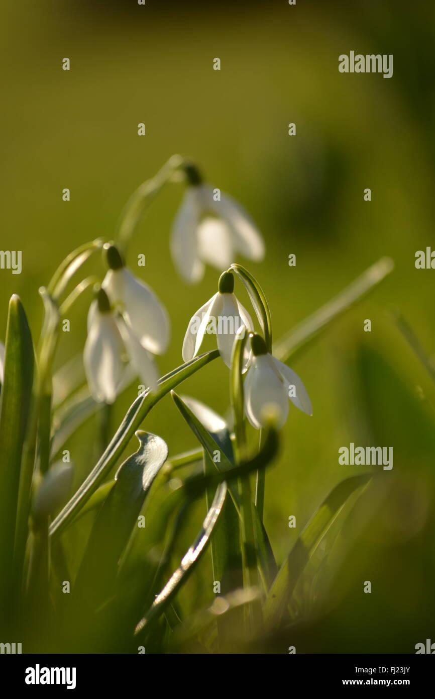 Galanthus, Snowdrop - Stock Image