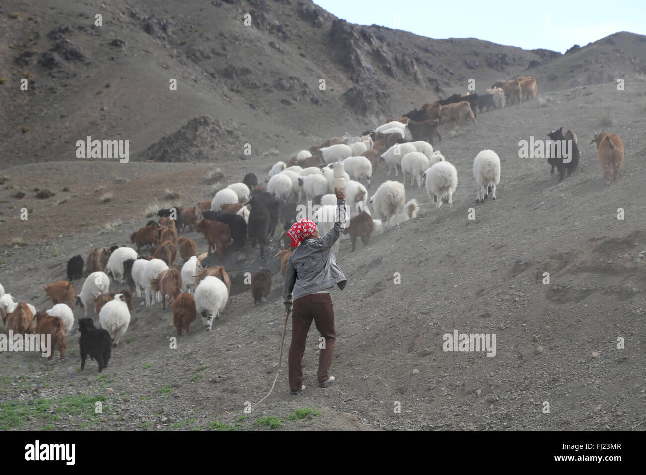 Mongolia shepherd in the middle of nowhere with animals - Stock Image