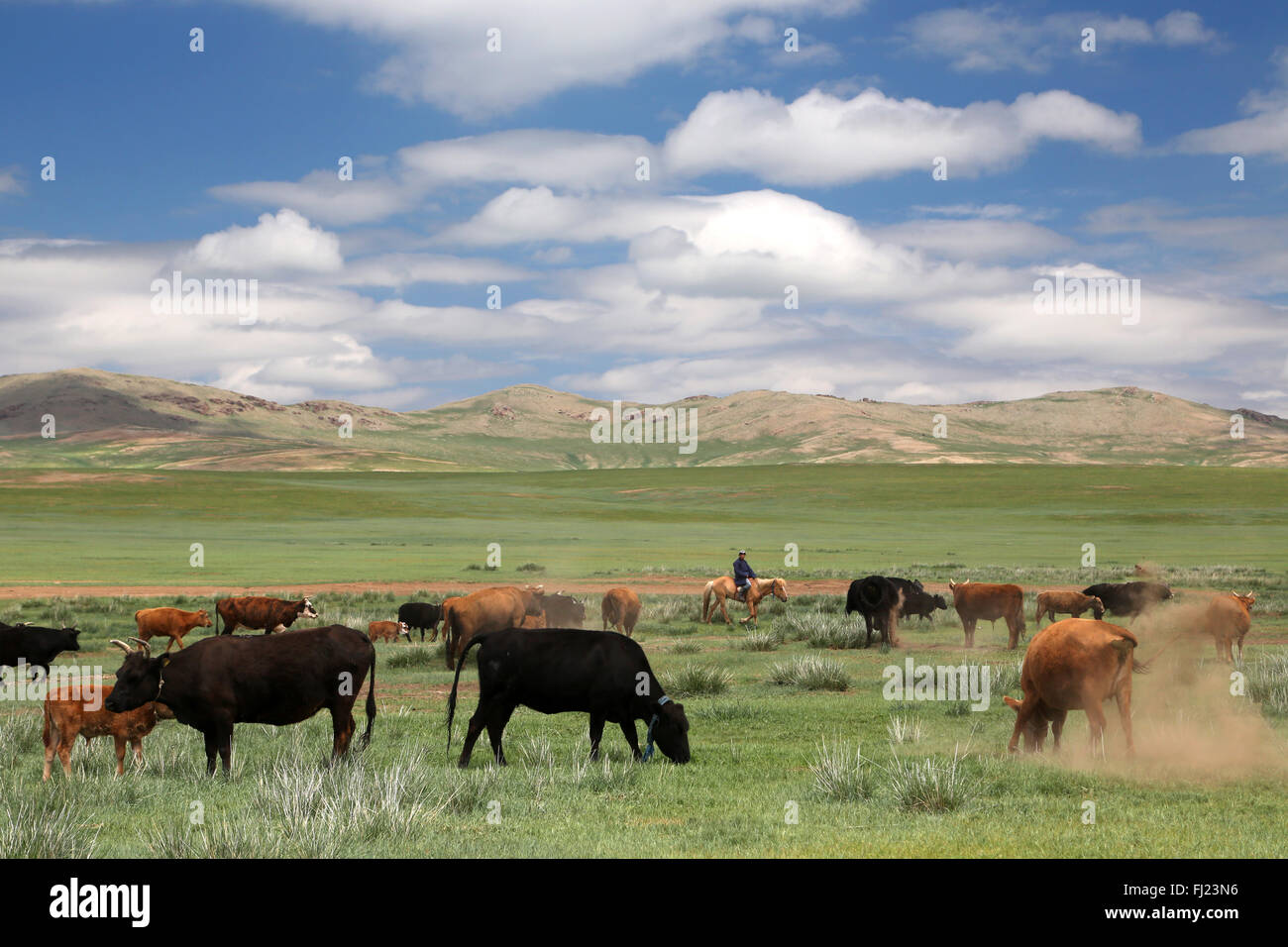 Mongolia green landscape with horses and cows - Stock Image
