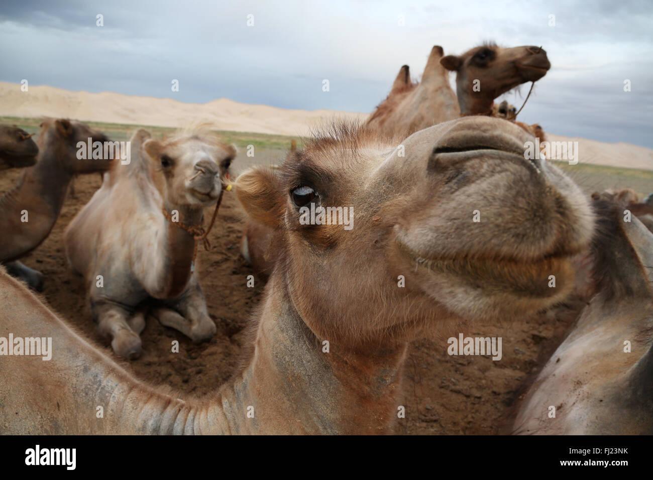 Wild camels in Gobi desert, Mongolia - Stock Image