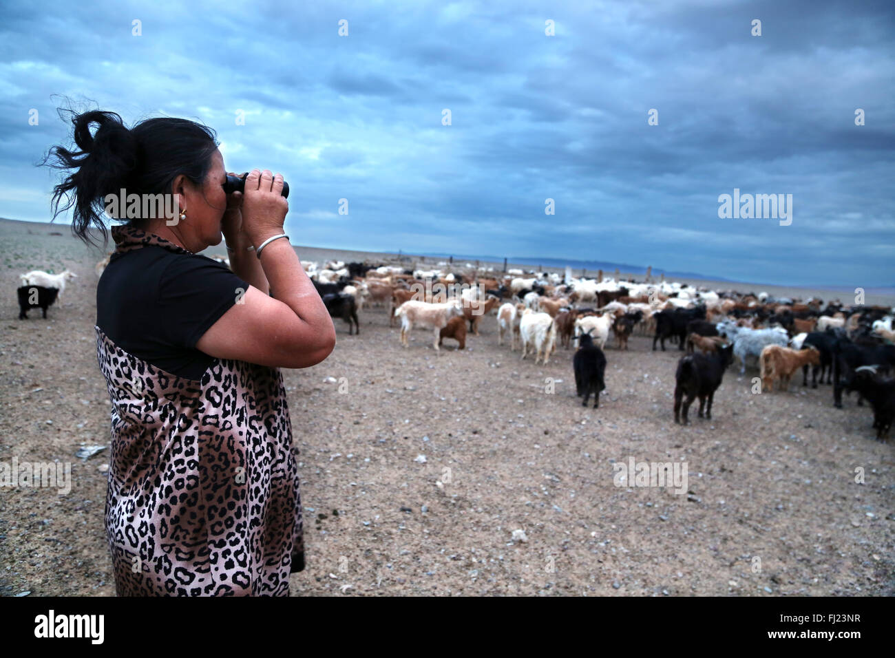 Nomad woman looking at her cattle with binoculars by sunset in Gobi desert,  Mongolia - Stock Image