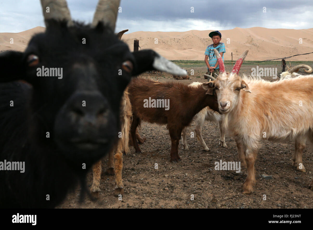 Portrait of boy with cattle in Gobi desert, Mongolia - Stock Image
