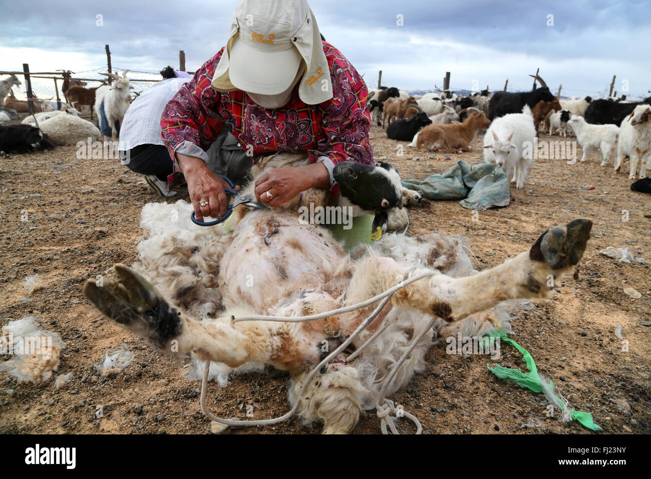 Nomadic woman in Gobi desert, Mongolia, is shaving a goat - Stock Image