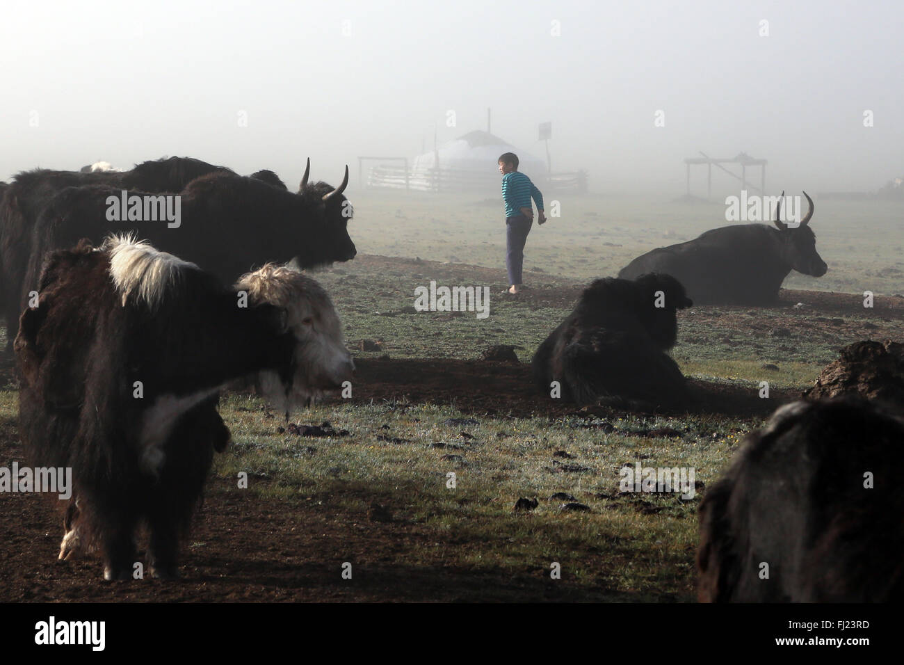Yaks at nomads camp in Mongolia - Stock Image