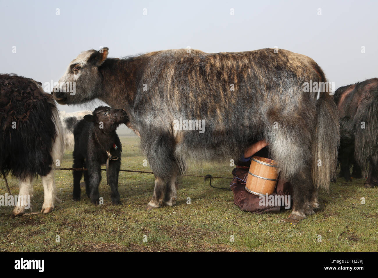 Milking Yaks at nomads camp in Mongolia Stock Photo