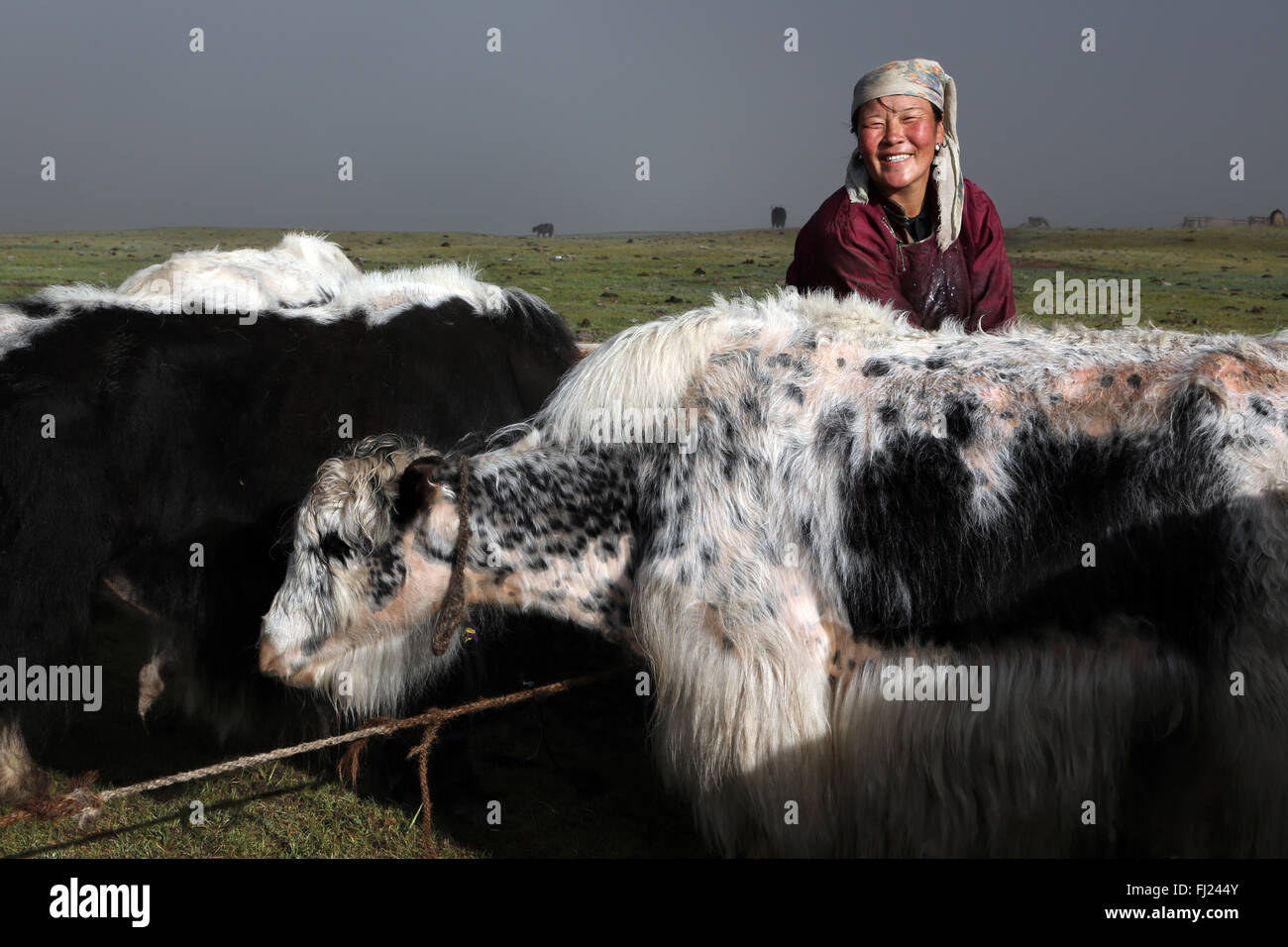 Mongolian woman milking Yaks at nomads camp in Mongolia - Stock Image