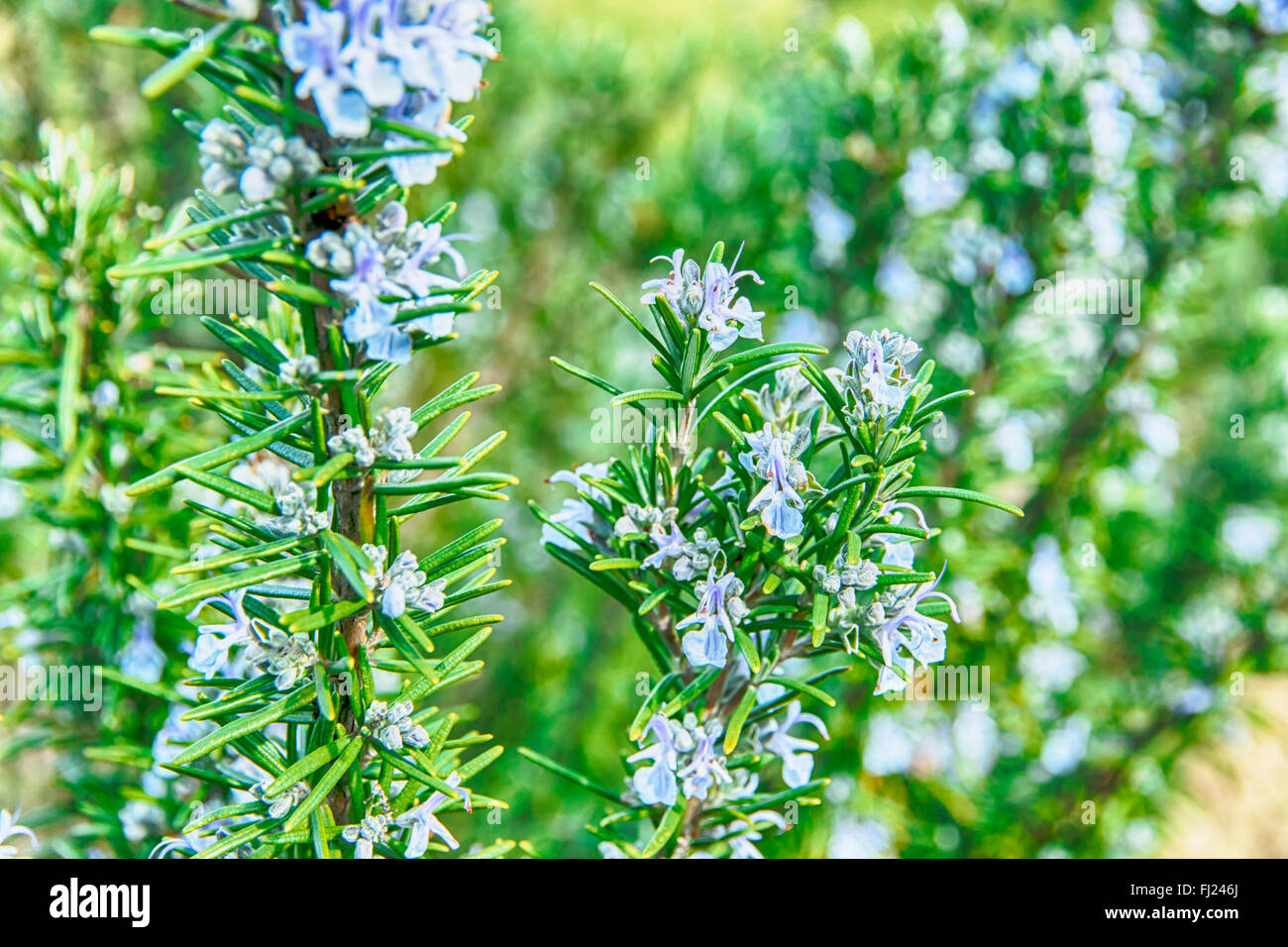 rosemary in flowers blooming with blurred background spring - Stock Image