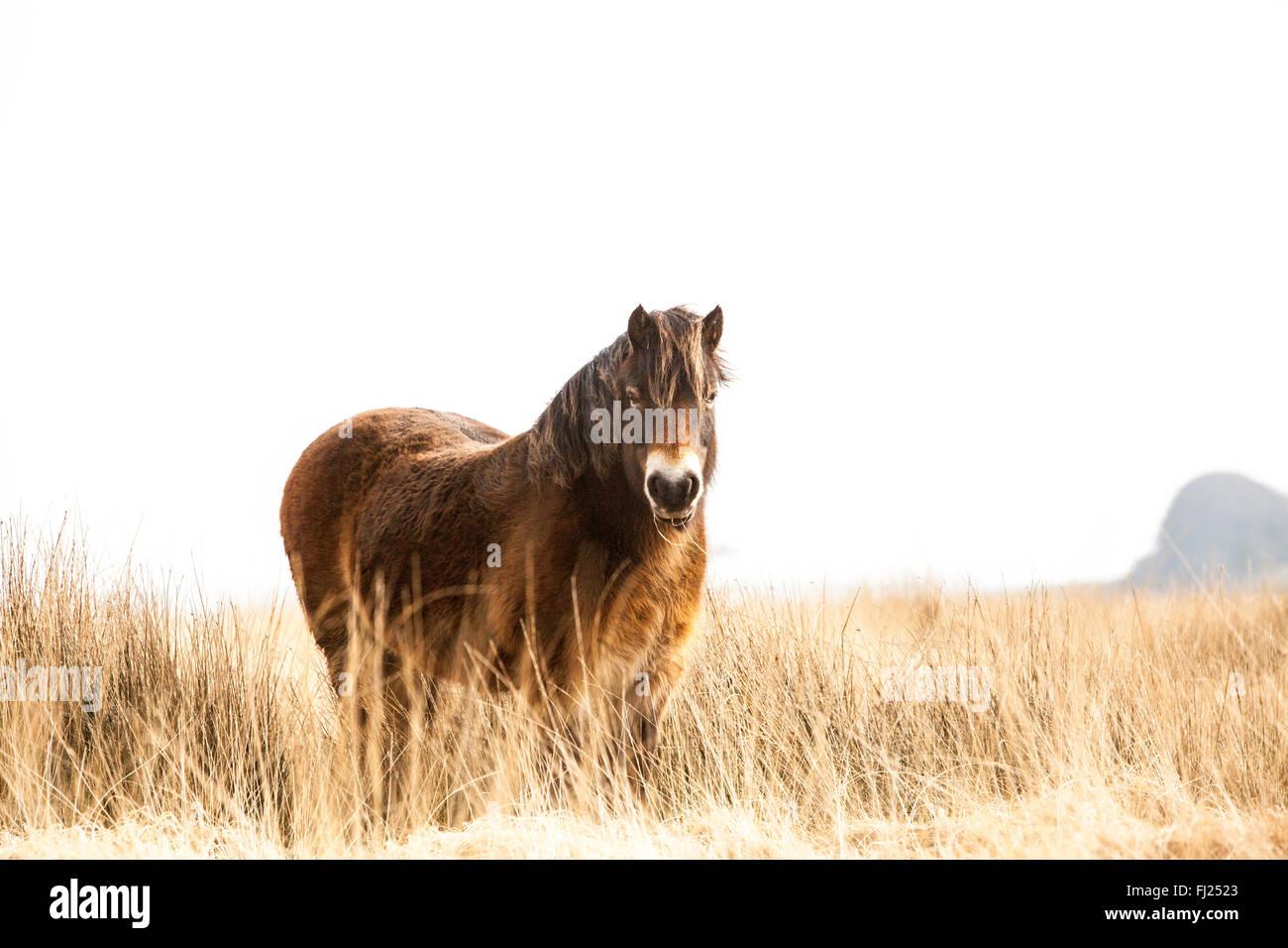 Exmoor Ponies In North Devon - Stock Image