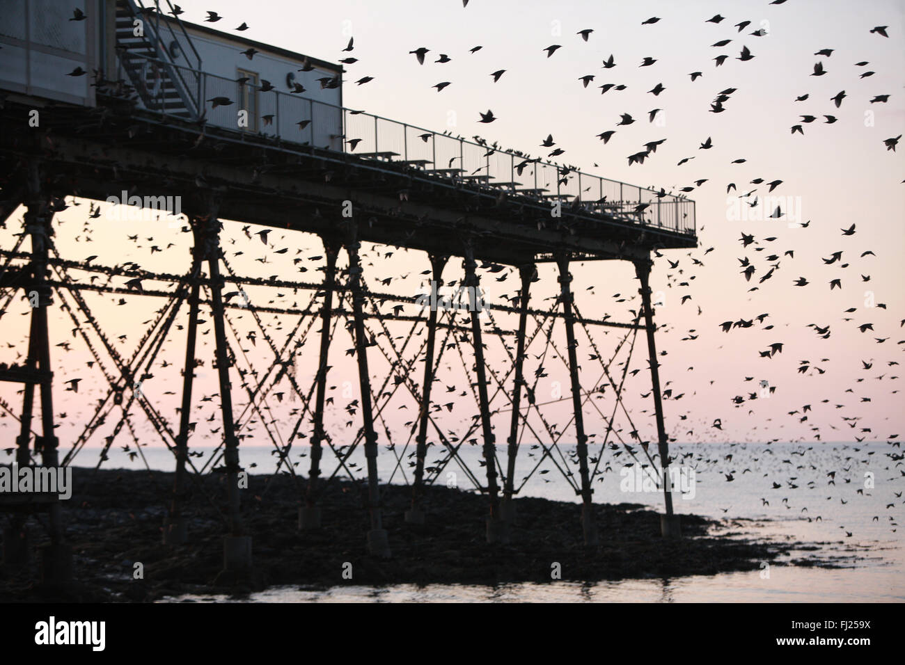 Aberystwyth, UK. 28th Feb, 2016. Starlings under pier at sunset in Aberystwyth, UK. 28th Feb, 2016. Starlings under Stock Photo