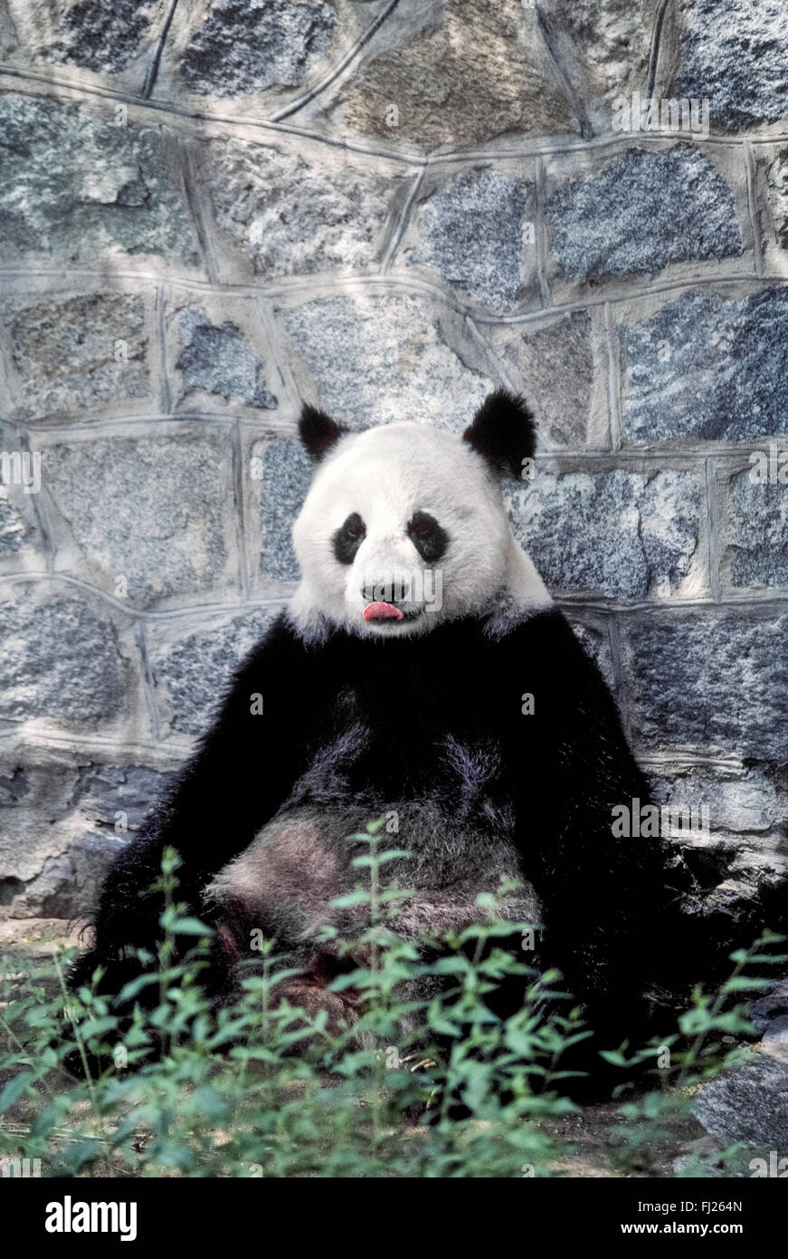 A giant panda licks its lips while waiting patiently for delivery of its favorite food, bamboo, inside the panda - Stock Image