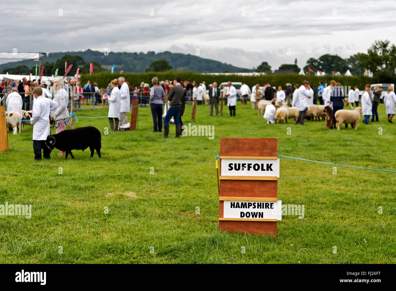 A Sheep competition at the 2015 Gillingham & Shaftesbury Agricultural Show, Dorset, United Kingdom. - Stock Image
