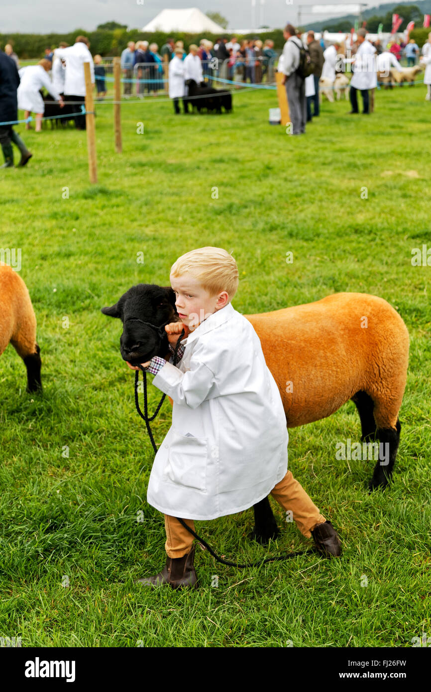A young boy with his sheep in the judging ring at the 2015 Gillingham & Shaftesbury Agricultural Show, Dorset, - Stock Image