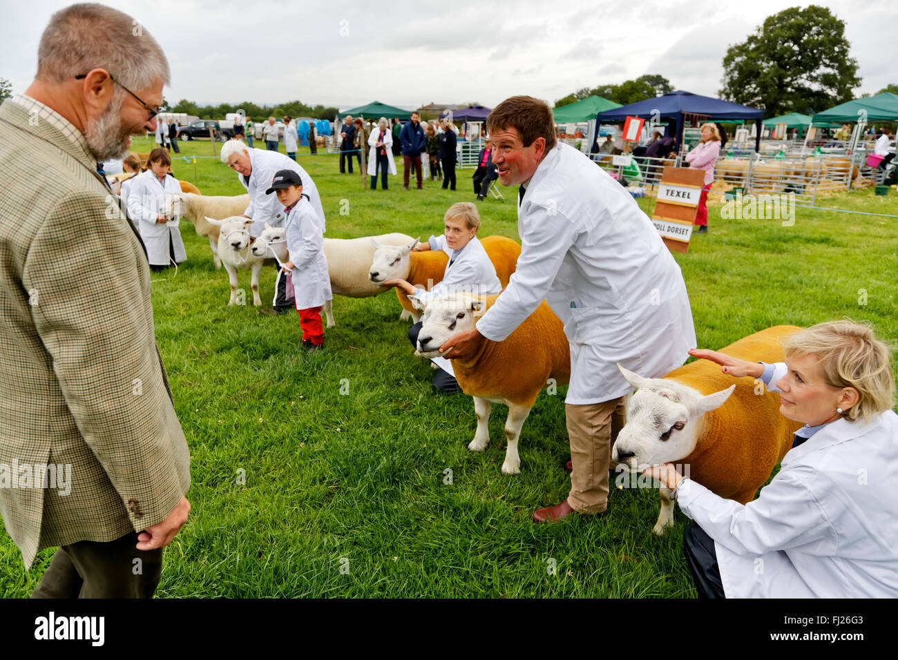 Texel & Poll Dorset Sheep being judged at the 2015 Gillingham & Shaftesbury Agricultural Show, Dorset, United - Stock Image
