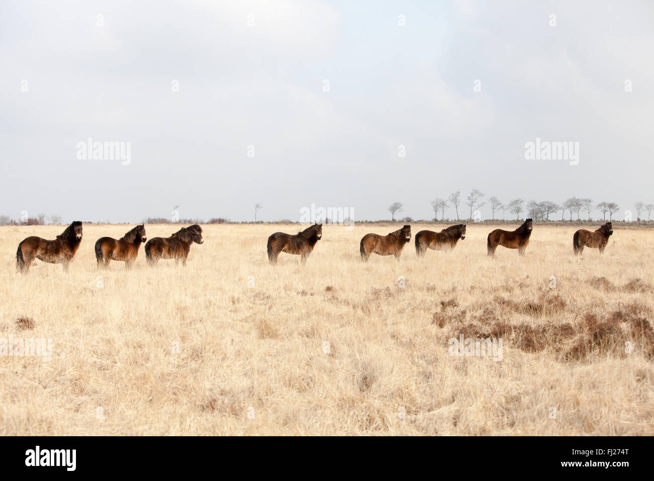 Wild Exmoor Pony Herd On Exmoor In North Devon - Stock Image