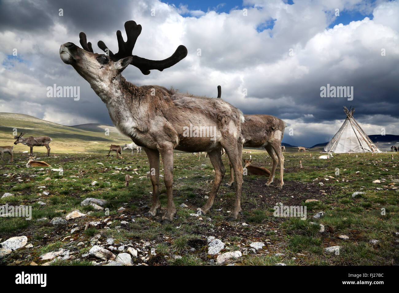 Tsaatan Dukha people , nomadic reindeer herders , Mongolia - Stock Image